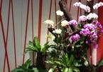 Đại gia chơi Tết: Vung bạc tỷ săn loài hoa sắp tuyệt chủng