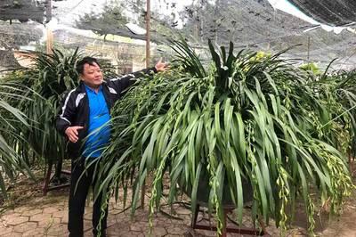 Huyền thoại 'giấc mộng vua Trần': 100 triệu/chậu địa lan chơi Tết