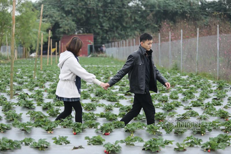 dâu tây,dâu tây Mộc Châu,dâu tây ở Hà Nội