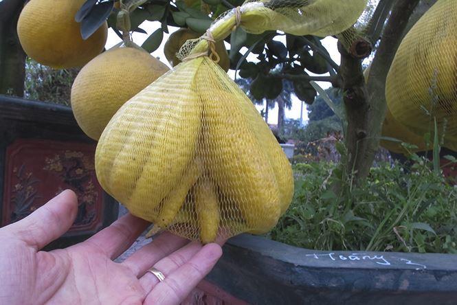 Săn hàng độc chơi Tết, 'bàn tay Phật' mọc trên thân cây lạ