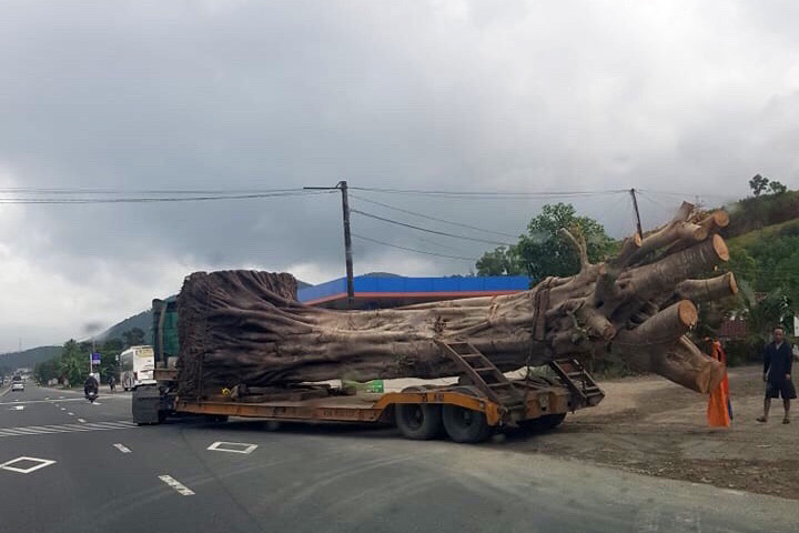 cây quái thú,cây đa sộp,vi phạm ATGT,Thừa Thiên Huế