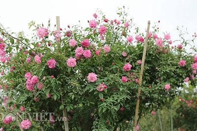 Cây hồng cổ Sapa cao hơn 5 mét giá 300 triệu