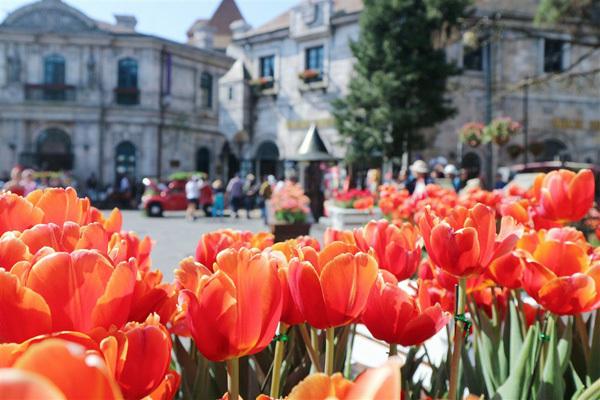 1 triệu bông tulip khoe sắc trên đỉnh Bà Nà