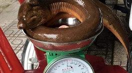 Lươn khổng lồ kinh dị, cá lạ hiếm có 5kg giá 150 triệu