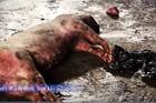 Kinh hãi lợn lở mồm long móng được 'phù phép' thành trâu gác bếp