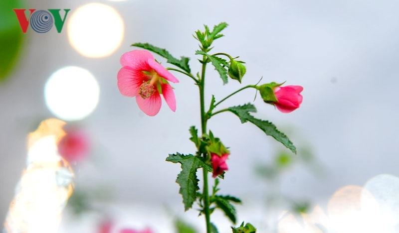 Cẩm quỳ thân gỗ - 'hoa lạ' hút khách dịp Tết Kỷ Hợi 2019