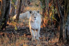 Du khách chi cả trăm USD một đêm để ngủ giữa 77 con sư tử