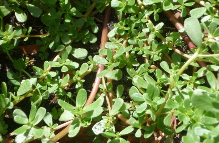 cây rau sam,rêu đá,rau đặc sản