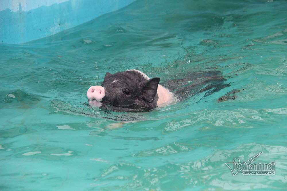 Lợn,Ninh Bình,Tết kỷ hợi
