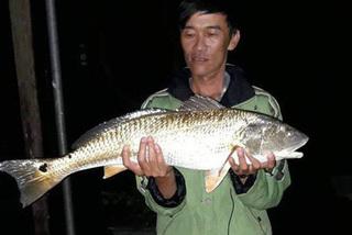 Cá lạ nghi sủ vàng nặng 5 kg sa lưới ngư dân Hà Tĩnh