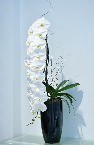 hoa lan,lan quý