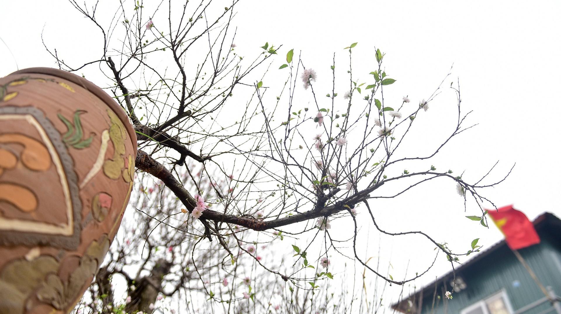 Ngắm vườn mai trắng độc đáo ngay giữa 'thủ phủ' đào Nhật Tân