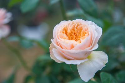 Lễ hội hoa hồng nhất định phải 'check in' dịp Tết Nguyên đán