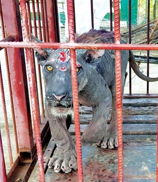 động vật hoang dã,thịt hổ