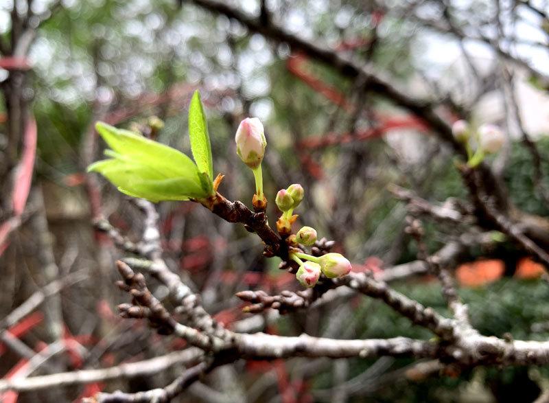 thị trường hoa Tết,hoa mận rừng,Tết nguyên đán