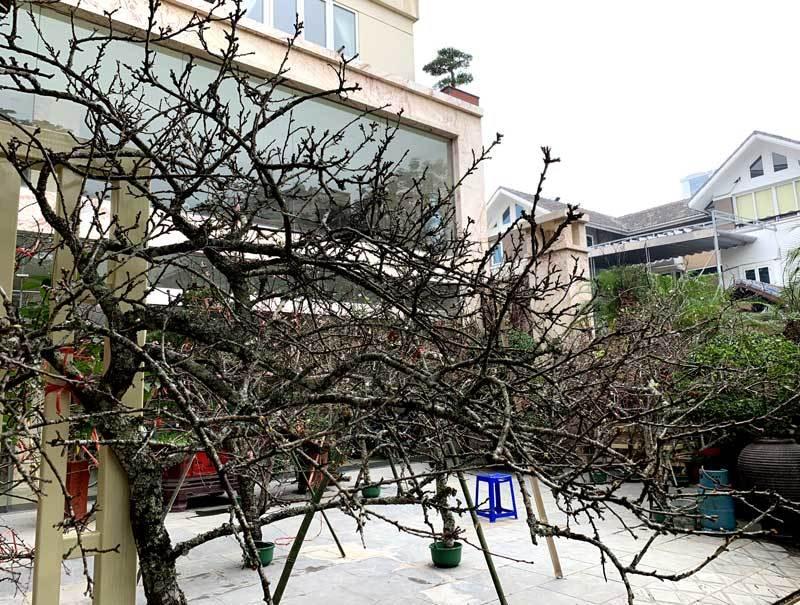 Cành hoa mận rừng trắng muốt độc nhất phố hoa Tết Hà Thành