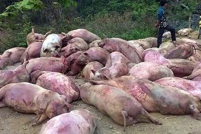 Rùng mình lợn bệnh chết thâm đen biến thành đặc sản bàn nhậu