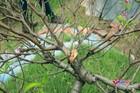Vụ hàng trăm gốc đào bị đốn hạ: Công an Bắc Ninh chỉ đạo khẩn