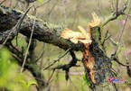 Vụ hàng trăm gốc đào bị đốn hạ: Một chủ vườn uống thuốc sâu tự tử
