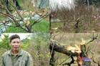 Điêu đứng nhìn hàng trăm gốc đào bị kẻ gian đốn hạ ở Bắc Ninh