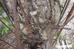 Sự thật thông tin trưởng thôn bán trộm cành cây sưa trăm tỷ ở Hà Nội