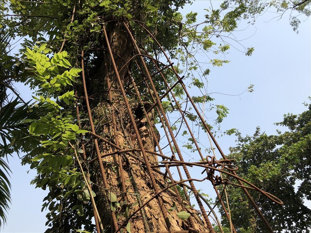 Số phận cây sưa trăm tỷ ở Hà Nội giờ ra sao?