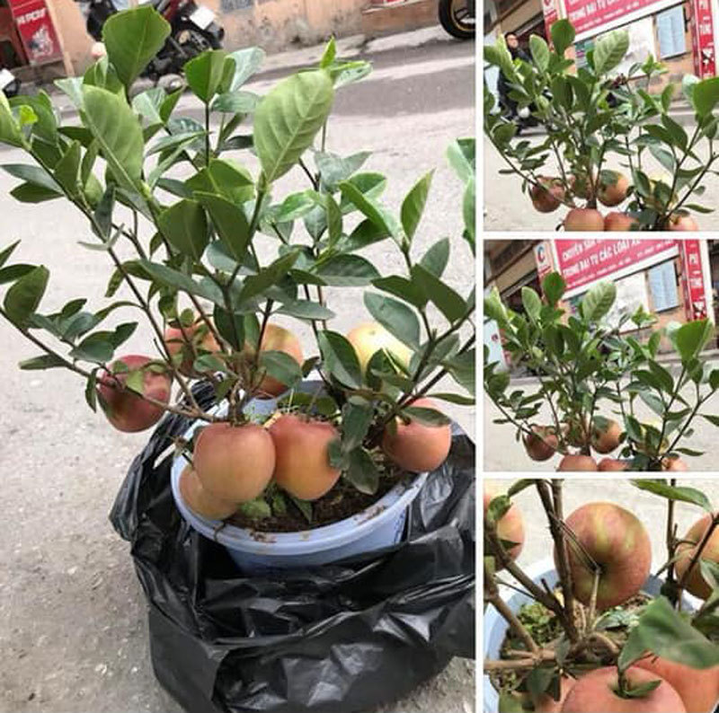 'Siêu phẩm' chỉ người Việt mới nghĩ ra: Táo trĩu quả trên cây dâm bụt