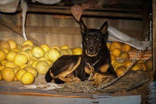 Dân trồng bưởi Diễn thả chó, thức trắng đêm chống trộm