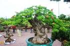 Bonsai cổ thụ dáng cực lạ giá cả trăm triệu ngóng 'đại gia' dịp Tết