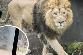 Bị vồ chết vì trèo vào khu nhốt sư tử