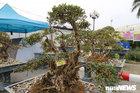Cận cảnh cây đỗ quyên 400 năm tuổi có giá gần 1 tỷ đồng