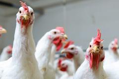 Điều bí ẩn 50 năm qua: Nguyên nhân loài gà to lớn gấp 4 lần