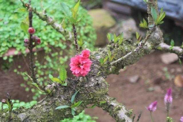 Chiêm ngưỡng đào Thất Thốn giá trăm triệu, nhiều tuổi hơn chủ cây