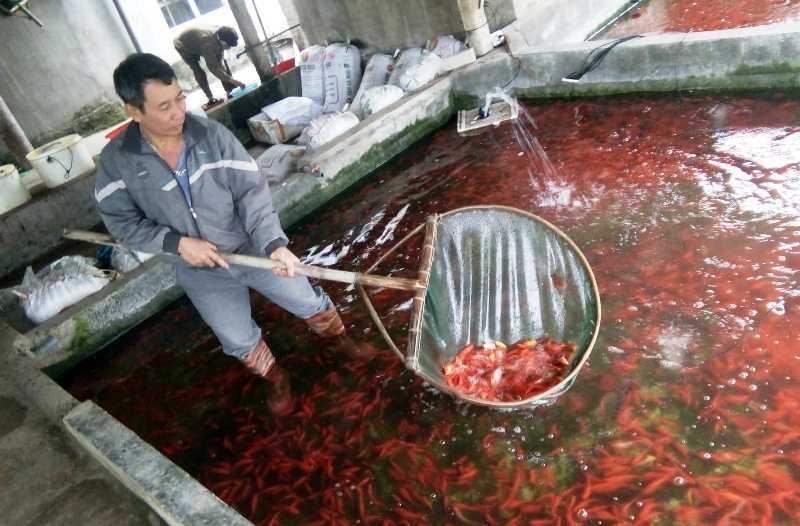 Thanh Hóa,cá chép đỏ,Ông Công Ông Táo