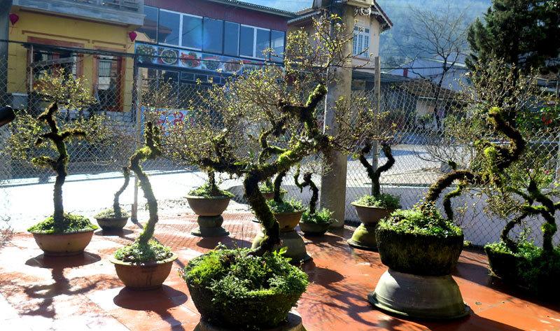 Nhất chi mai cổ đầy rêu mốc: Hàng hiếm, chắc giá 50 triệu