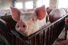 Điềm báo Kỷ Hợi: Hàng triệu con lợn bị tiêu huỷ