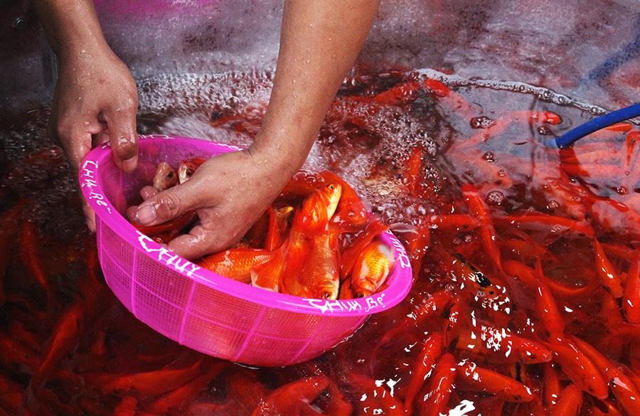 Khu chợ đặc biệt, mỗi năm 1 lần bán loài cá đỏ rực ở Hà Nội