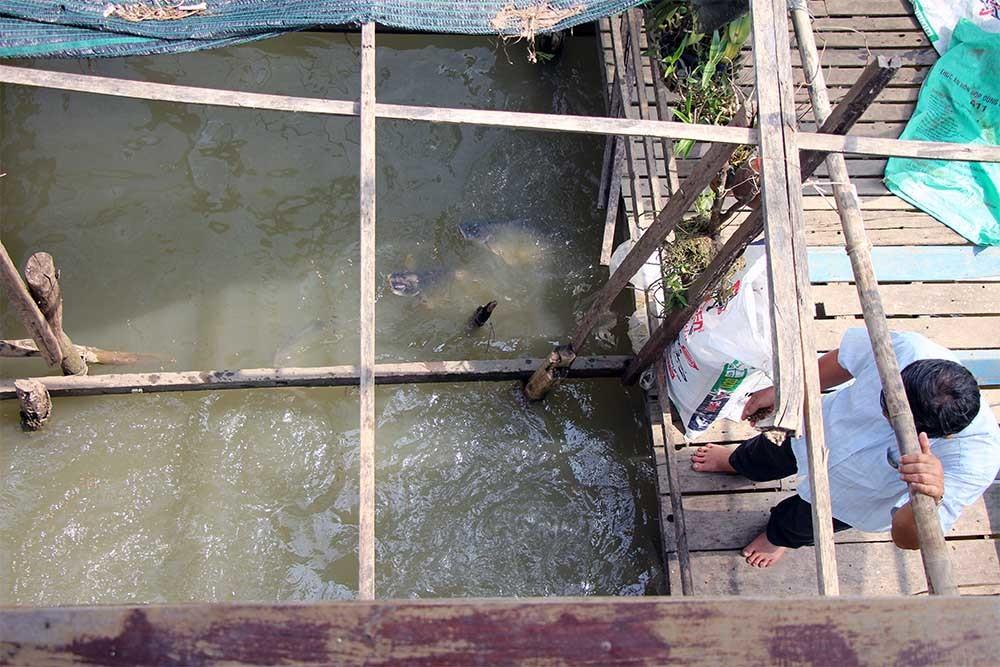 Lão nông ăn chay dụ nghìn con cá về nuôi như thú cưng
