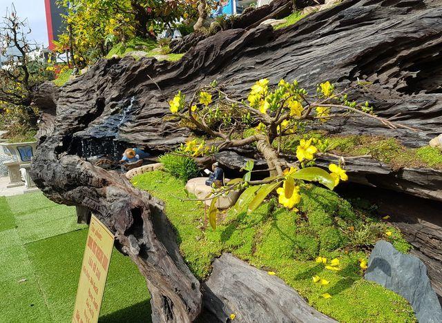 Gốc cây gỗ sao 'khủng', giá gần 1 tỷ đồng hút người xem