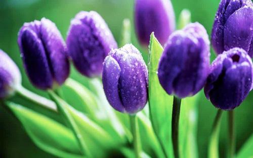 Tết này, cảnh giác với những loài hoa đẹp nhưng…độc