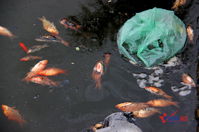 Thả nhầm hồ nước mặn, cá chép tiễn ông Táo chết sình tội nghiệp