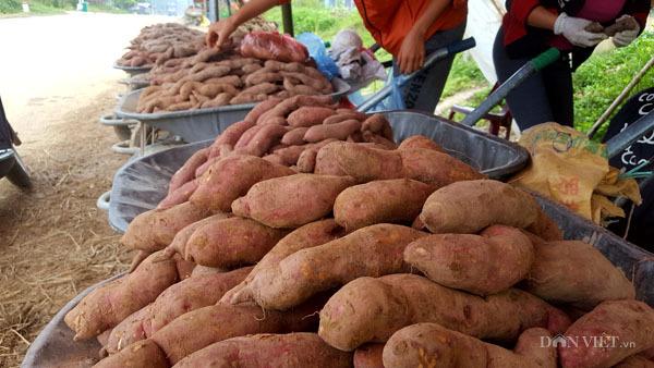 'Đào' được 40 tỷ mỗi năm từ cây khoai lang ngon nhất xứ Lạng