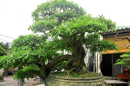 Ngắm vườn bonsai 'cực chất' giá trăm tỷ đồng ở Bình Định