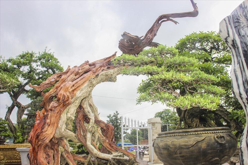 Gốc mận rừng trên 50 năm tuổi giá 1 tỷ ở Bình Định