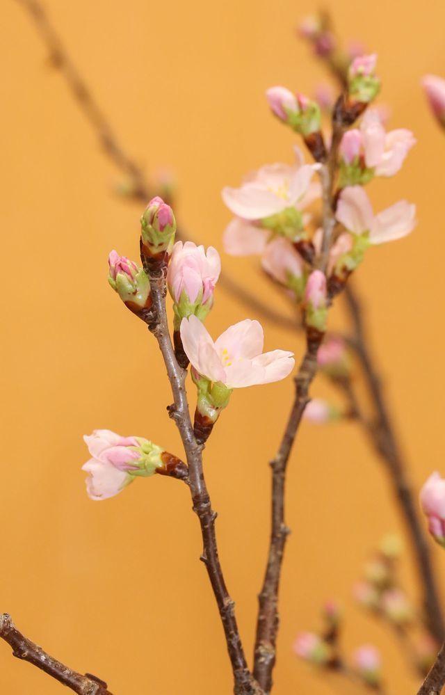 Anh đào Sakura trái vụ siêu hiếm xuất hiện dịp Tết Hà Nội