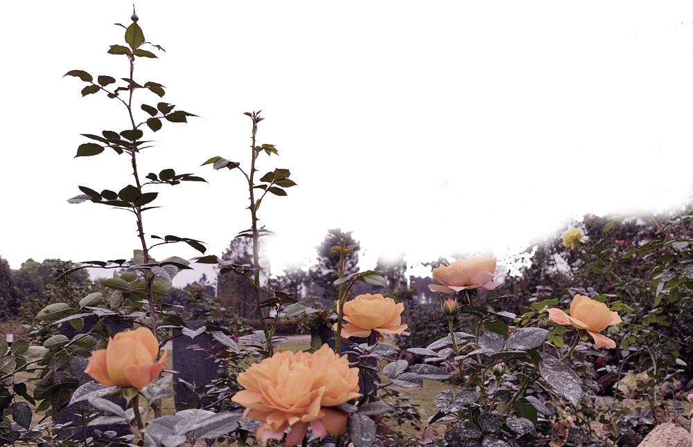hoa hồng,vườn hồng,vườn hoa hồng,Đại Lải