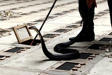 Người đàn ông vác bao tải rắn hổ mang chúa trả về rừng