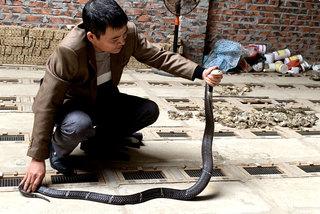 Tóm cổ rắn độc: Ông lão ôm vàng ròng đổi lấy 'siêu xe'