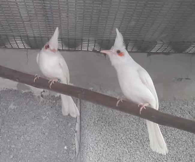 chào mào,chim cảnh