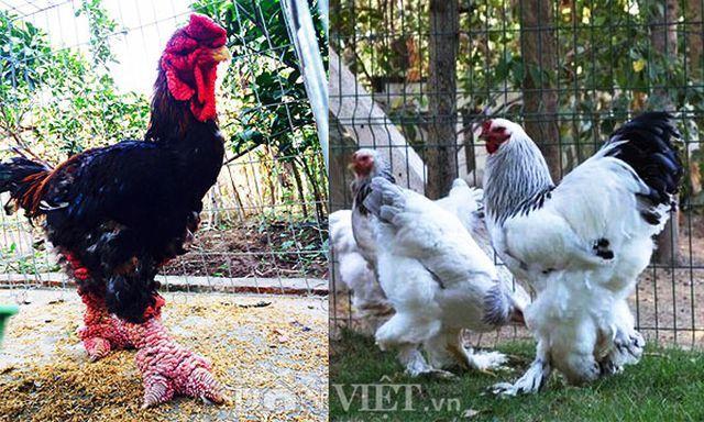 Sính ngoại: 15 triệu đồng đôi gà, đại gia vẫn xuống tiền vì 'hàng độc'